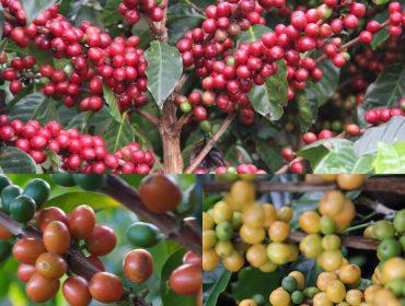 Différente cerises de café
