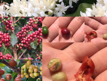 Les étapes d'un grain de café