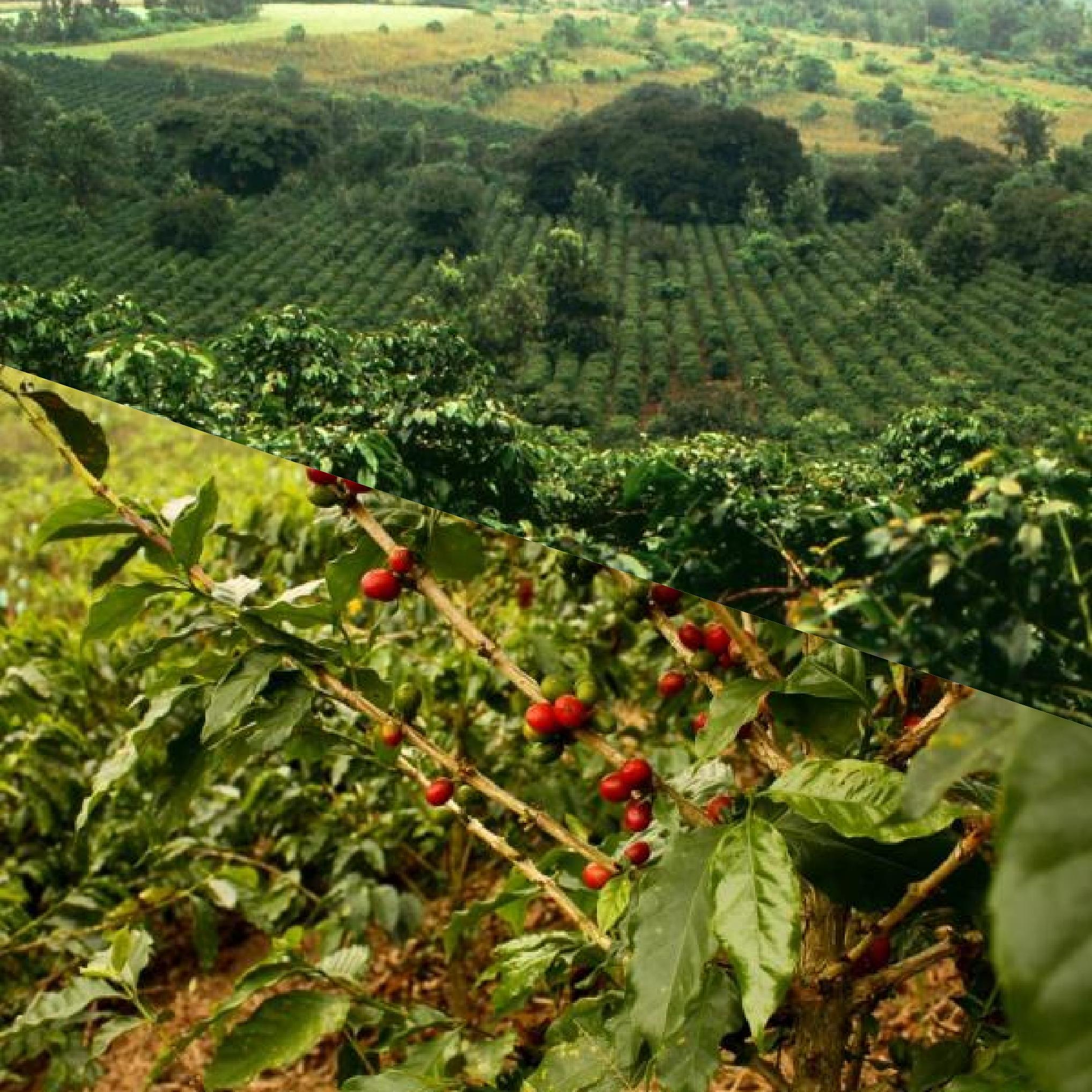 qu est ce que le café vert et ses avantages